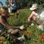 Lavoro sui terreni della coop Terre di Puglia