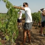 Lavoro nelle vigne della coop Terre di Puglia